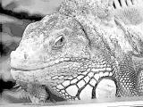 fany.over-blog.de krokodile echsen (14).jpg