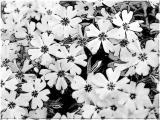 tulpen u (14).jpg