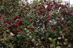 Apfelherbst