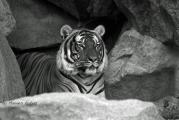 TigerTierpBerlinMaIMG_5341.jpg