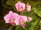 comp_Phalaenopsis-Hybride.jpg