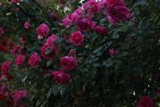 Rosenbogen bei schlechtwetter.jpg