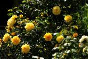 Rose an Str..jpg