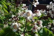 Trompetenbaumblüten.jpg