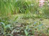 Teich heute mit blühendem Froschbiß.JPG