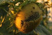 Sonne von Stieglitz geplündert+.jpg