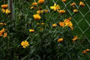 Ringelblumen 29.9..jpg