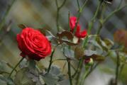 Rose 17.10.jpg