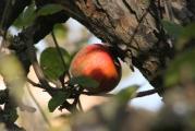 Apfel 1.11+++.jpg