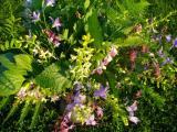Blumenstr. m Waldhyazinthe im Abendlicht.jpg