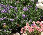 Hauswurz u Lavendel unter w. Rose.jpg