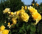 rosen 23.7..jpg