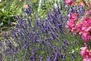 Lavendel,Rosen.jpg