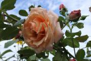 Rose 7.8. ++.jpg