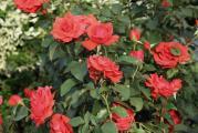 Rose 22.6..jpg
