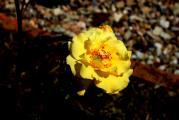 el rose gelb.jpg