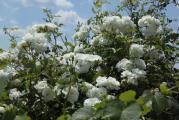 el rose w4.jpg