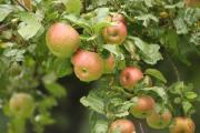 äpfel 14.8..jpg