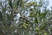 6 Oliven1.jpg