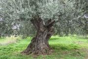 8 alter Olivenbaum.jpg