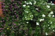 Rose an Hausmauer.jpg