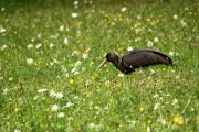 1 Shwarzstorch Jungvogel 4.8.11..jpg