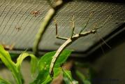 Blattschrecke IMG_0406.jpg