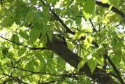 Specht auf Nußbaum.jpg