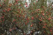 Äpfel am Baum.jpg