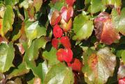 Blätter rot.jpg