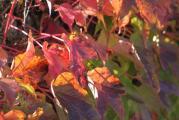 Blätter veitchii bunt 13.10.jpg