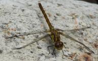 Libelle da stimmt mit flügel was nicht 10.8..jpg
