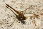 Libelle putz sich flügel aber.jpg