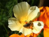 Biene voll bepackt.jpg