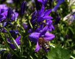 glöckchen biene.jpg