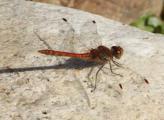 Libelle heide 13.10.jpg