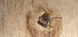 Heriades truncorum Löcherbiene beim Schlupf 3.jpg