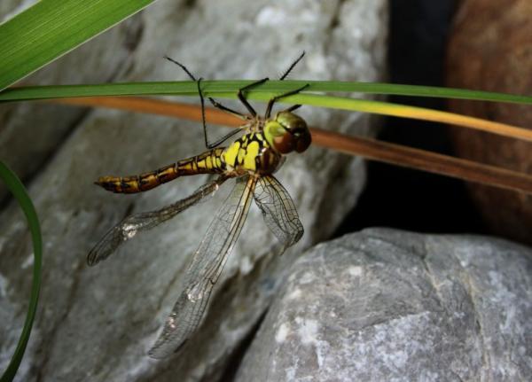 7 Libelle verl.Flügel.jpg
