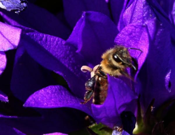 Biene in Knäuelglockenbl.+++.jpg
