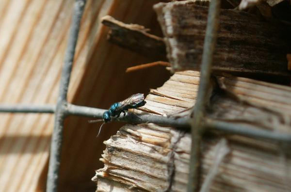 Blaue Goldwespe Trichrysis cyanea vormals Chrysis cyanea 1 (2).jpg