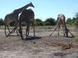 k-Giraffe÷©÷MR÷144.JPG
