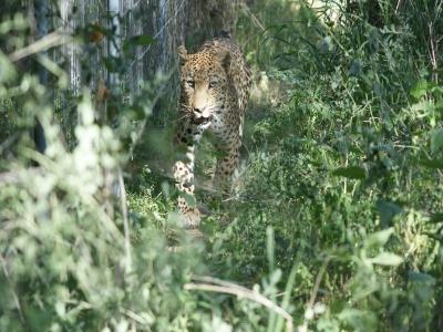 k-Leopard.JPG