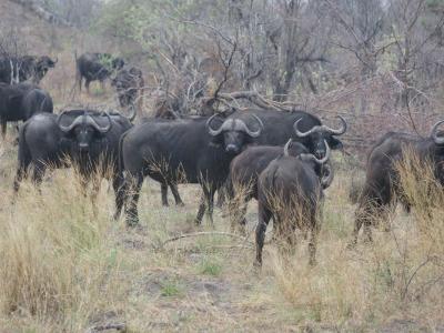 k-Afrikanische Büffel÷©÷MR÷013.JPG