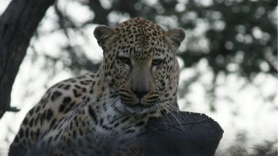 Leopard-OEL÷©÷MR÷005.JPG