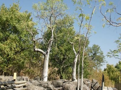 k-Halali-Moringa ovalifolia.JPG