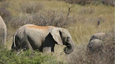 Elefant-Okamb÷©÷MR÷005.JPG