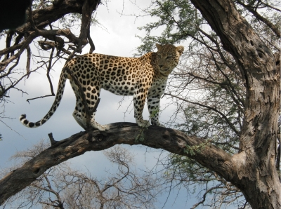 Leopard-Düsternbr÷©÷MR÷008a.jpg
