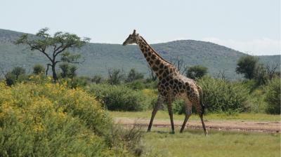 Giraffe-Okamb÷©÷MR÷001.JPG