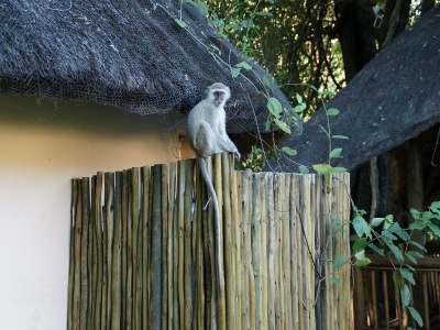 k-Chobe Safari Lodge-Meerkatzen÷©÷MR÷003.JPG