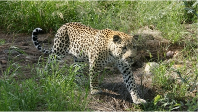 Leopard-Düsternbr÷©÷MR÷037a.jpg